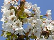 Land-und-Kind.de: Obstblüte