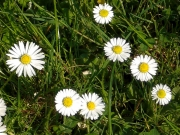 Land-und-Kind.de: Gänseblümchen