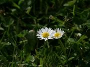 Land-und-Kind.de: Gänseblümchen auf der Wiese - Bellis