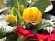 Land-und-Kind.de: Biene im Anflug auf Primel