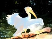 Pelikan erstrahlt im Sonnenlicht