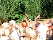 Flamingo im Schwarm