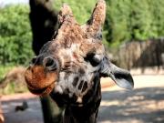 Giraffenhengst im Portrait