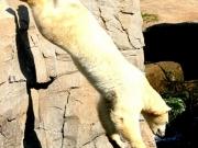 Eisbär beim Sprung vom Felsen