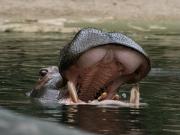 Flusspferd mit geöffnetem Maul