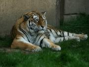 Faulenzender Tiger im Dschungelpalast
