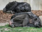 Zwei schlafende Schimpansen