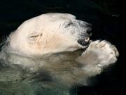 Eisbär beim Fressen eines Fischs