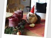 Team Roland: Unser Meerschweinchen Lilly als Weihnachtskartenmotiv für die Familie :-))