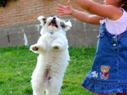 Havaneser Welpe springt an einem Kleinkind hoch