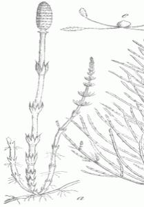 Der Acker-Schachtelhalm - eine Darstellung von Martin Cilenšek