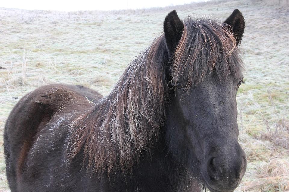 Das Reif in der Mähne stört das Island-Pferd nicht im Geringsten