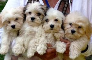 Bild: Havanese Puppies / Wikimedia Commons / Loganandgarth unter der Lizenz CC BY-SA 3.0