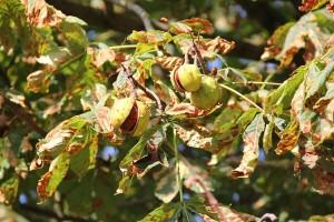Kastanienbaum im Herbst - Die reifen Früchte platzen auf und die Kastanien kullern auf den Weg