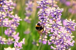 Lavendelfeld_Frankreich_Provence_Land und Kind
