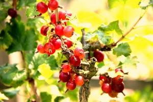 Lecker und gesund: Frisches Obst aus Opas Garten