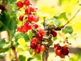 Lecker und gesund - selbst geerntetes Beerenobst
